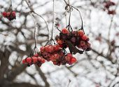 Winter Frozen Viburnum Berries