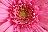 Closeup of brightly colored pink gerbera flower petals