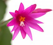 foto of schlumbergera  - Bright Magenta Christmas Cactus isolated on white - JPG