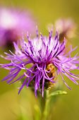 Close up view of purple knapweed flower