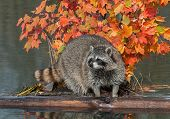 Raccoon (Procyon lotor) Stands Between Logs On Pond