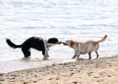 Two dogs playing tug of war with stick on the beach