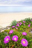 Sea fig flowers blooming on Aegean coast in Chalkidiki, Greece