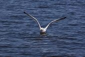Herring Gull Flushing From Water