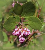 Manzanita Flower