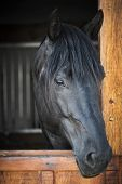 Head shot of a black horse looking out stable window
