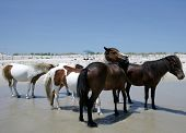 People watch the wild ponies of Assateague Island. Assateague Island is a 37-mile long barrier island located off the eastern coast of Maryland and Virginia, and is home to more than 100 wild equines