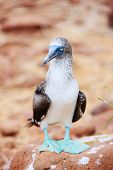 foto of blue footed booby  - Close up of blue footed booby at Galapagos island of  North Seymour - JPG