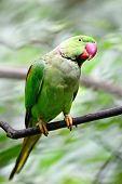 Male Alexandrine Parakeet