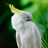 foto of cockatoos  - Beautiful white Cockatoo, Sulphur-crested Cockatoo (Cacatua galerita)