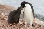Adelie Penguin Chicks That Feeds Near The Nest