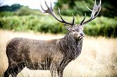 stock photo of cervus elaphus  - The Cervus Elaphus, known as red deer. The male red deer is called Stag or Hart.