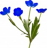 illustration with blue flowers isolated on white background