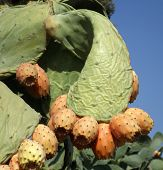 Fruits prickly pear cactus Indian