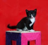 Small Black And White Kitten Standing On Red