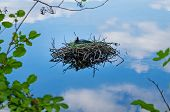Common Coot Bird Nest On Water Fulica Atra