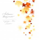 Maple falling leaves isolated with place for text.