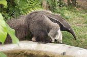 picture of ant-eater  - giant ant eater walking and looking something - JPG