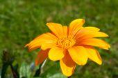 Orange Gazania