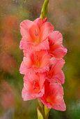 Beautiful Pink Gladiolus