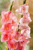 picture of gladiolus  - Bouquet of beautiful pink gladiolus on glass background - JPG