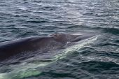 stock photo of mink  - Minke whale - JPG
