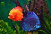red and blue discus fish in aquarium