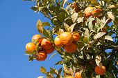 Orange tree - Citrus sinensis
