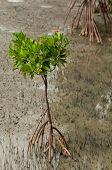 Mangrove Tree Roots On Beach
