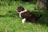 Amazing Puppy Of Australian Shepherd Moving