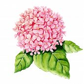 stock photo of hydrangea  - Pink hydrangea on a white background - JPG