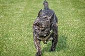 French Bulldog Fierce Look