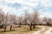 Almond Tree Orchard