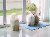 Three Pomeranian Puppy Dogs In Home Looking For The Owner, Pets In House