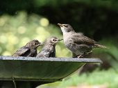 Young Starlings bathing
