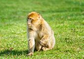 Young Barbary Macaque In Open Field