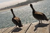 Two pelicans on the pier