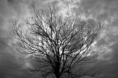 Black And White Of Dry Tree Branch Against Cloudy Day Use As Multipurpose Natural Background ,backdr