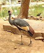 African Bird: Grey Crowned Crane (balearica Regulorum)