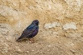 European Starling, Sternis Vulgaris