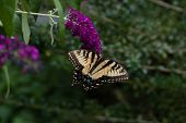 stock photo of butterfly-bush  - A Yellow Swallowtail butterfly feeding from a purple butterfly bush - JPG