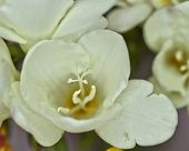 white freesia flower closeup