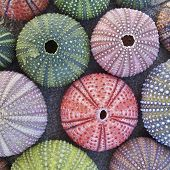 a collection of colorful sea urchins