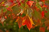 Maple Leaves With Raindrops in Autumn