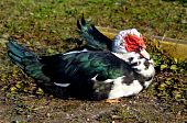 Bubble Headed Muscovy Duck