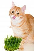 Red Cat Eats Green Grass