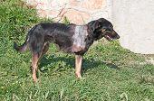 pic of amputation  - Injured stray dog with amputated front leg - JPG