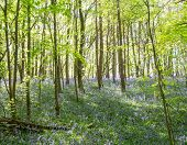 stock photo of floor covering  - Bluebells covering a  the floor of a Bluebell wood