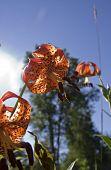 Michigan Wild Lily (lilium Michiganense)