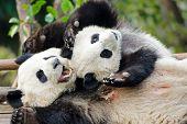 Giant Panda Mother & Cub Playing - Chengdu, China
